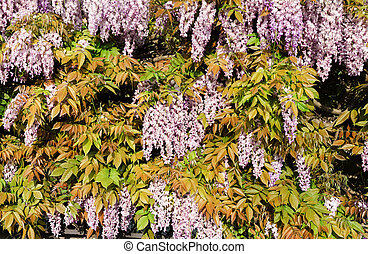 Wisteria  - overview of a wisteria plant in bloom