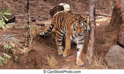 Bengal Tiger Prowling Enclosure - Themes of nature, animals,...