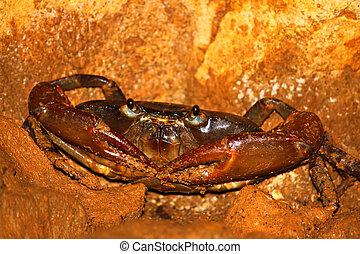 Cave Crab - Puerto Rico - A Cave Crab hides in the Cueva Del...