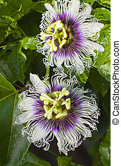 passionfruit flower - two passionfruit flowers growing on a...