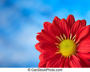 The macro of a red colored Chrysanthemum in front of blue...
