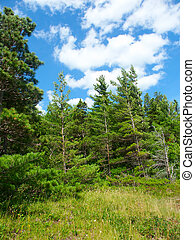 Pine Woodlands - Michigan - The beautiful pine woodlands of...