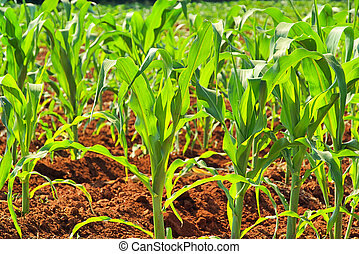 maíz, campo, 07