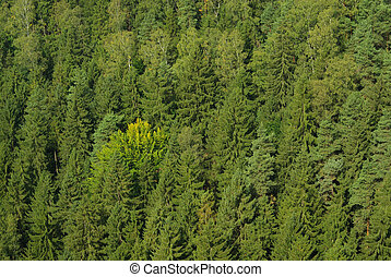 spruce forest 01