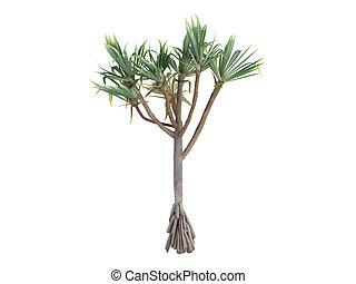 Common Screwpine or Pandanus utilis - Common Screwpine or...