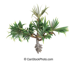 Common Screwpine or Pandanus utilis - Common Screwpine or...