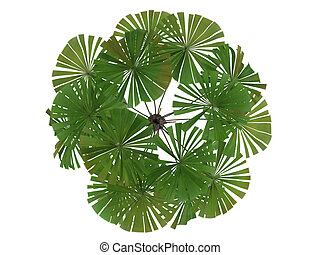 Australian Fan Palm or Licuala ramsayi - Australian Fan Palm...