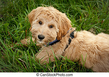 Tired Puppy - Five month old labradoodle laying in the grass...