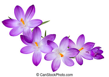 Purple Crocus - Fresh purple crocus flowers on the curve