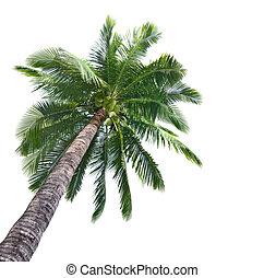 Handfläche, kokosnuss, baum