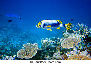 Indian ocean.  Fishes in corals
