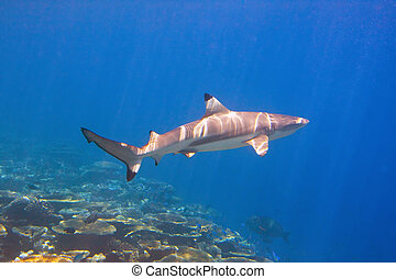 Shark swimming above coral reef