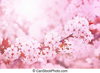 Spring blooming cherry flowers branch