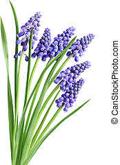 Hyacinth Muscari Flowers - Grape Hyacinth Muscari Flower in...