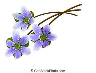 Hepatica Nobilis - Hepatica liverleaf liverwort genus of...