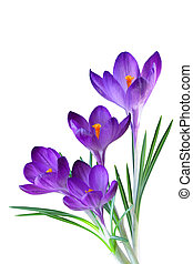 Purple Crocus - Crocus flower in the spring isolated on...