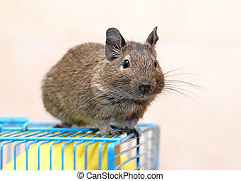 Degu sits on a cage - Chilean Degu sits on a cage