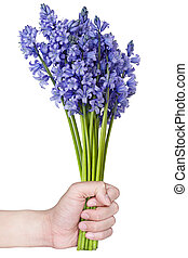 Bluebell - Hand holding bundle of bluebell isolated on white