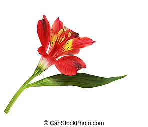 Single Lily Flower - Single lily flower isolated on white...