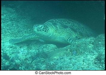 sea turtle underwater diving video - underwater diving video...