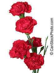 Red Carnation - Red carnation flowers isolated on white...