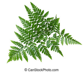 Fern - Branch of fresh green fern isolated on white