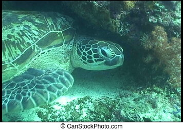 sea turtle underwater diving video