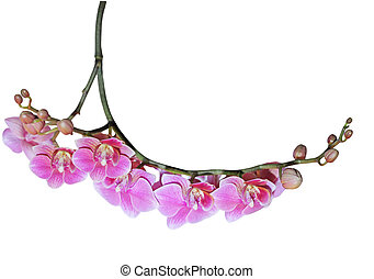 Phalaenopsis Orchid Branch - Pink phalaenopsis orchid twig...