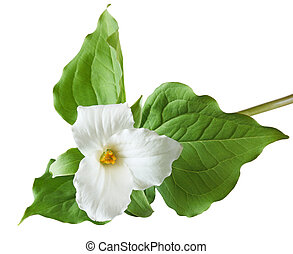 Trillium grandiflorum Flower isolated on white background
