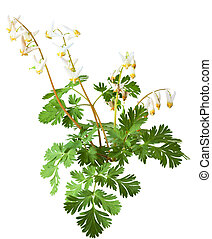 Squirrel CornDicentra canadensis - Squirrel Corn Dicentra...