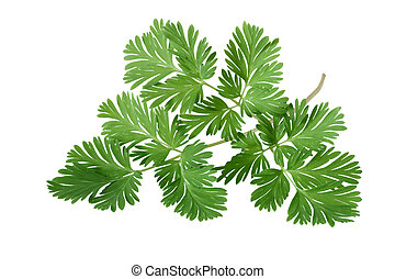 Squirrel Corn Dicentra canadensis Leaf - Squirrel Corn...