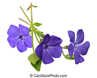 Blue Myrtle Periwinkle - Three blue myrtle periwinkle major...