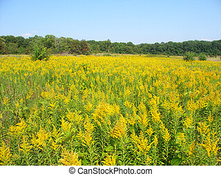 Goldenrod Field Scene - Field of blooming Goldenrod at...