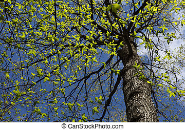 Elm Tree - Elm tree in spring time on a sunny day
