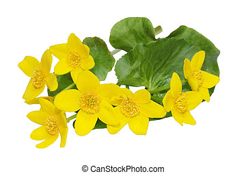 Marsh Marigold Wildflower - marsh marigold Caltha palustris...