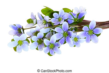 Hepatica Nobilis - bundle of round-lobed Hepatica Nobilis...