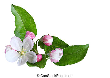 Apple Blossom - Fresh apple blossom isolated on white...