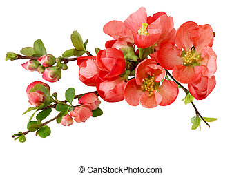 Spring Cherry Flower - Spring cherry flowers isolated on...