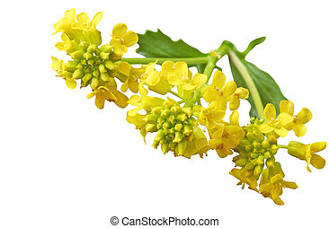Common Winter Cress (Yellow Rocket) Barbarea vulgaris...