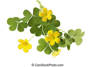 Shamrock - shamrock oxalis flower and leaves isolated on...