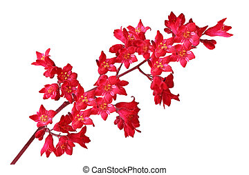 Heuchera Sanguinea Coral bell flowers isolated on white