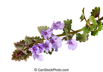 Ground Ivy - Ground ivy wild flower plant isolated on white