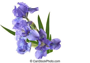 Dwarf Iris - Blue Dwarf iris flowers isolated on white