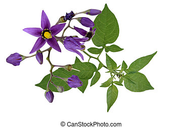 Nightshade Solanum dulcamara flowers isolated on white