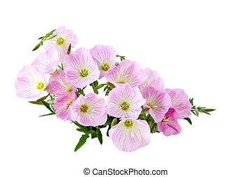 Prink Primrose - Pink Primrose Oenothera speciosa flower...