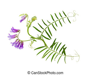 Cow Vetch Wild Flower - Cow Vetch Tufted Vetch Vicia cracca...
