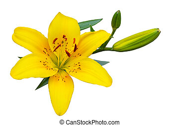 Yellow Lily - Fresh yellow lily flowers isolated on white