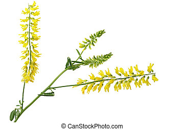 Yellow Sweet clover - Yellow sweet clover Melilotus...