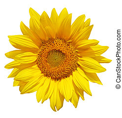 Sunflower - Single fresh sunflower isolated on white...