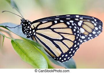 lepidoptera,  - a butterfly closeup